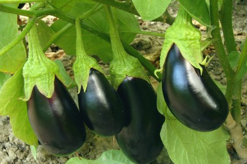 eggplant fruits growing in the garden